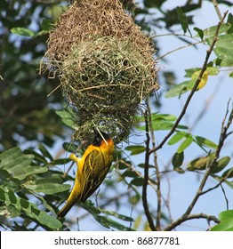 "a bird named ""Weaver Bird"" building on its nest in Uganda (Africa)"