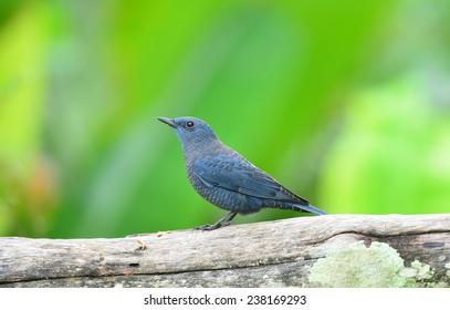 bird in nature Blue Rock Thrush