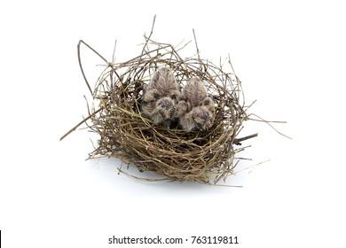 Bird nest with baby bird on white background.