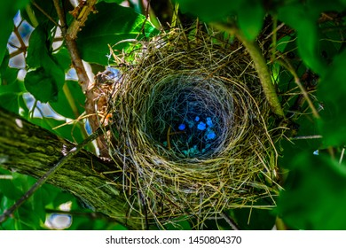 Bird nest made by chipping sparrows with blue egg remnants set in tree.