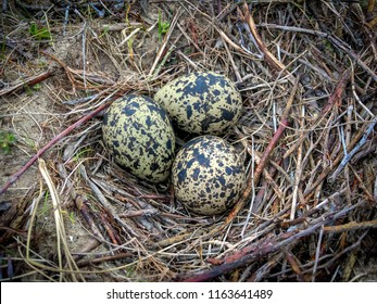 A bird nest on ground with 3 eggs of Northern Lapwing (Vanellus Vanellus)