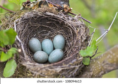 bird nest on tree branch with five blue eggs inside