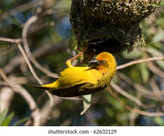 Bird and nest (South Africa).