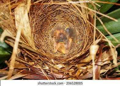 bird nest with two Lesser Kiskadee flycatcher babies birds sleeping, Central America, Costa Rica