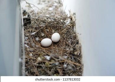 bird nest white pigeon dove eggs lay on the nest