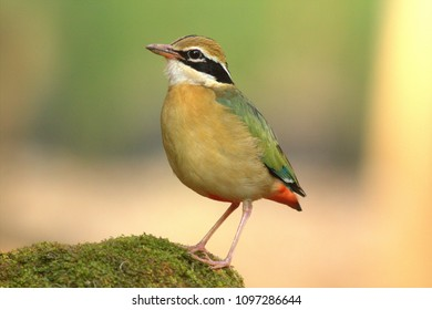 The Bird with Nine colors. The Indian Pitta is one of the most colorful birds in India.