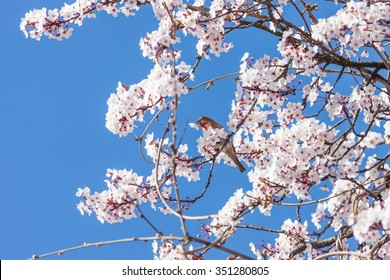 Bird on Blooming Cherry Tree in Spring Time
