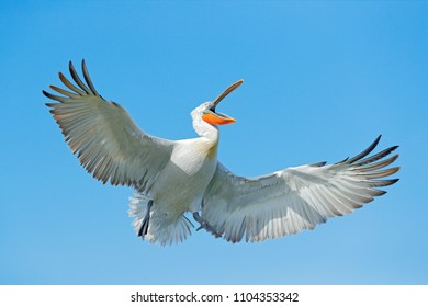 Bird on the blue sky. Bird with open bill, funny image. Dalmatian pelican, Pelecanus crispus, in Lake Kerkini, Greece. Pelican with open wings, hunting animal. Wildlife scene from European nature.