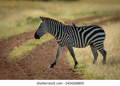 Bird on plains zebra crossing dirt track