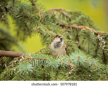 Bird on a spruce branch