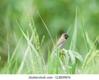 bird in paddy
