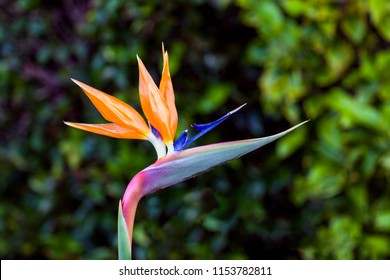 The Bird of Paradise, or crane flower plant, has stunning flowers that resemble the shape of a tropical bird.