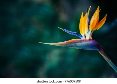 Bird of Paradise or crane flowers is one of the most beautiful exotic flower. The leaves of a bird of paradise plant are bluish-green with a red midrib. Cold tone plant.