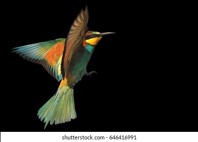 bird of paradise in flight isolated on a black background.wild bird