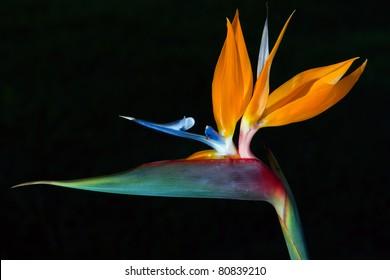 Bird of Paradise Flower 2