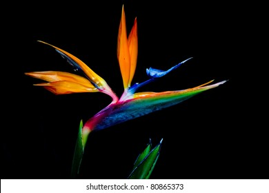 Bird of Paradise Flower 3