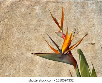 Bird of Paradise flower against an adobe wall