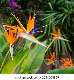 Bird of paradise flower blossom