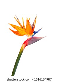bird of paradise flower closeup cutout isolated on a white background
