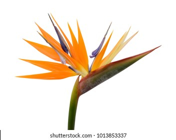 A Bird of Paradise flower isolated on a white background