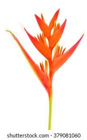 Bird of Paradise Flower isolated on white background