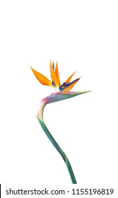 bird of paradise flower with a long curved stem isolated against a white background