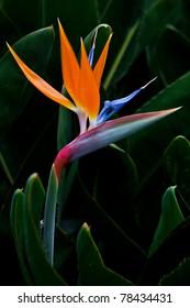 bird of paradise flower on green background