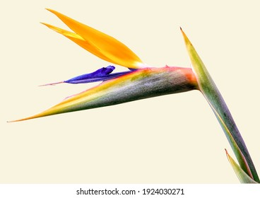 Bird of Paradise Flower with a pale yellow background single flower
