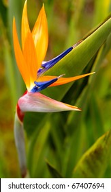 Bird of Paradise Flower San Diego, California