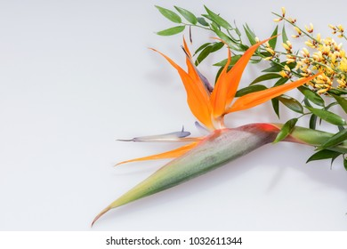 Bird of Paradise flower or Strelitzia isolated
