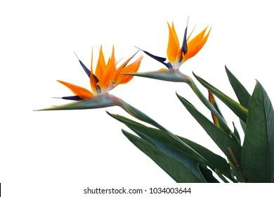 Bird of paradise flower - Strelitzia - isolated on white