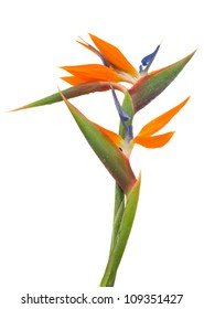 Bird of paradise flower (Strelitzia) isolated on white bacground