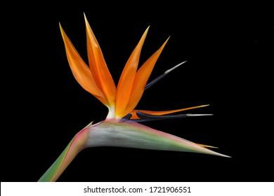 Bird of Paradise flower, strelitzia, isolated against black.