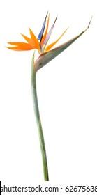 Bird of paradise flower (Strelitzia) isolated on white