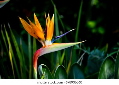 Bird of paradise flower - Strelitzia - in natural environment with blurred backgound