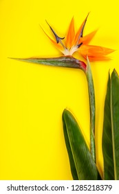 Bird of Paradise flower Strelitzia reginae, space for text