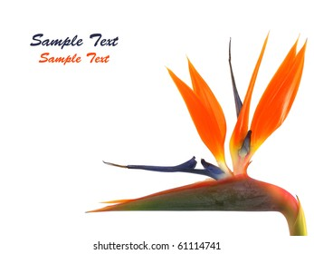Bird of paradise flower (Strelitzia reginae) with space for text