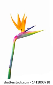 bird of paradise flower with vivid colors cutout isolated on a white background