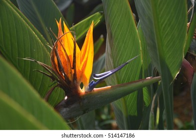 Bird of paradise flowering with green leaves and copy space