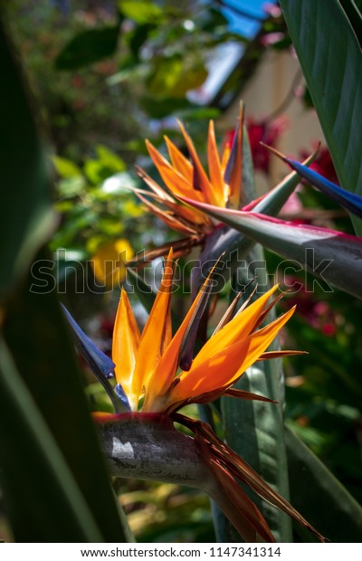 Bird of paradise flowers or Strelitzia , crane flowers