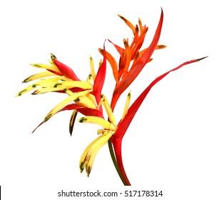 Bird of paradise flowers . Strelitzia reginae Banks ex Dryand isolated on white background