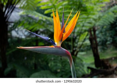 Bird of Paradise Plant in Full Seasonal Bloom
