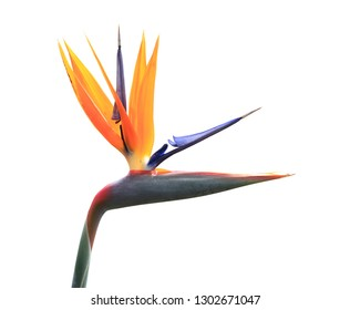 Bird of Paradise Plant isolated on white