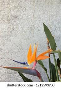 Bird of paradise is standing against the wall with yellowish petals pink blue purple colors mixed well together giving of gratitude feeling relaxing and appreciate what our life has and has been