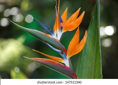 Bird of Paradise/ Strelitzia  exotic tropical flower. Hawaii, Maui, USA