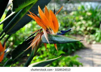 Bird of Paradise. Strelizia Reginae. Cape Province. South Africa. Family: Strelitziaceae