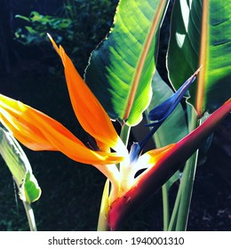 Bird of Paradise in the sun