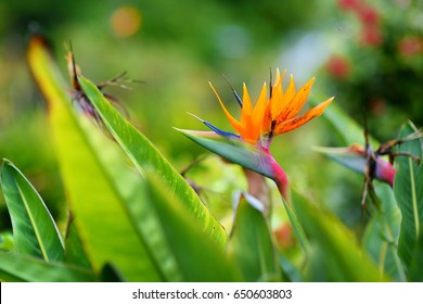 Bird of paradise tropical flower, famous plant found on island of Hawaii, USA