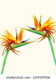 Bird of Paradise tropical flowers.