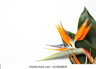 Bird of Paradise tropical flowers on white background, top view